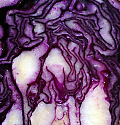 CabbageSMLMarton